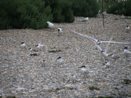 Sandwich Terns II