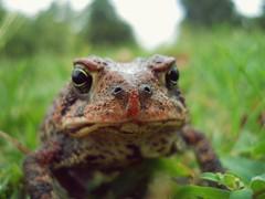 animal, amphibian, toad, frog, fauna, close-up, ranidae, wildlife,