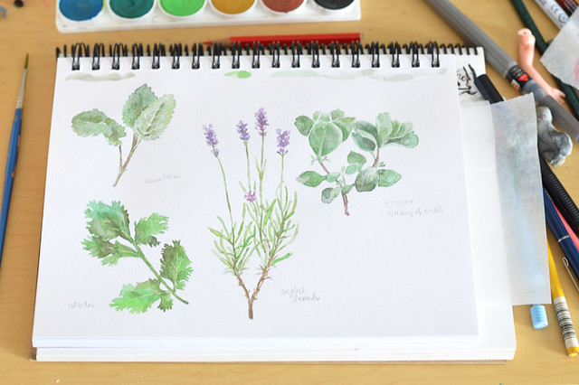 watercolor herb illustartions