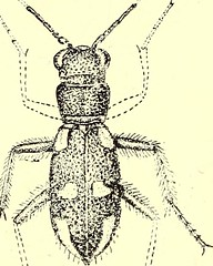 """Image from page 463 of """"Coleoptera : general introduction and Cicindelidae and Paussidae"""" (1912)"""