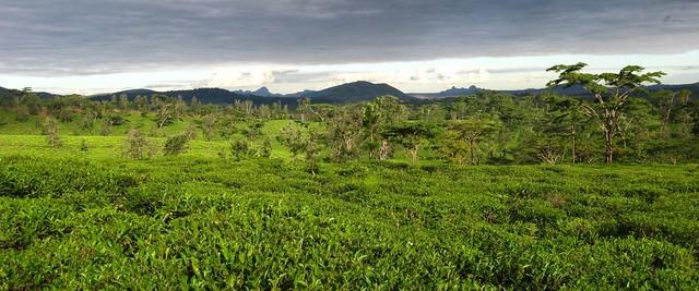 Campos de chá de Gurué, Moçambique