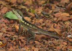 Gilbert's Dragon (Lophognathus gilberti) (35 centimetres)