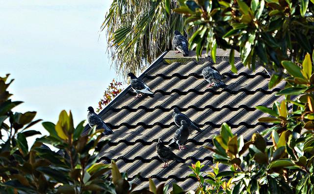 Pigeons, Panasonic DMC-TZ70