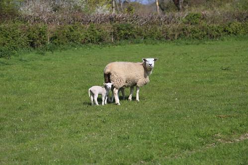 Ewe and Lamb distrustful