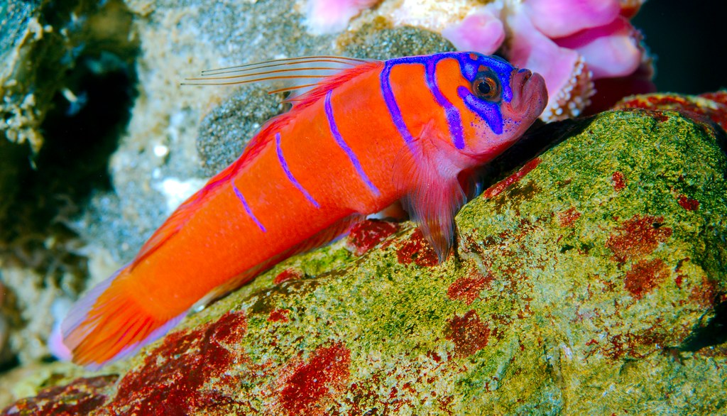 Bluebanded Goby_3