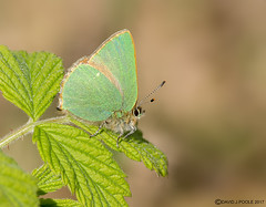 HolderGreen Hairstreak