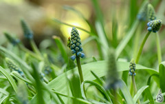 Grape hyacinth (with unexpected bug!)
