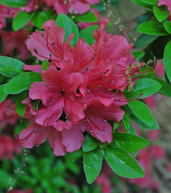 Rhododendron 'Dainty Rose' x 'Yaeshojo' (3)