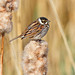 reed bunting by SueT1912
