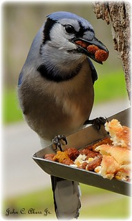 One hungry bluejay!
