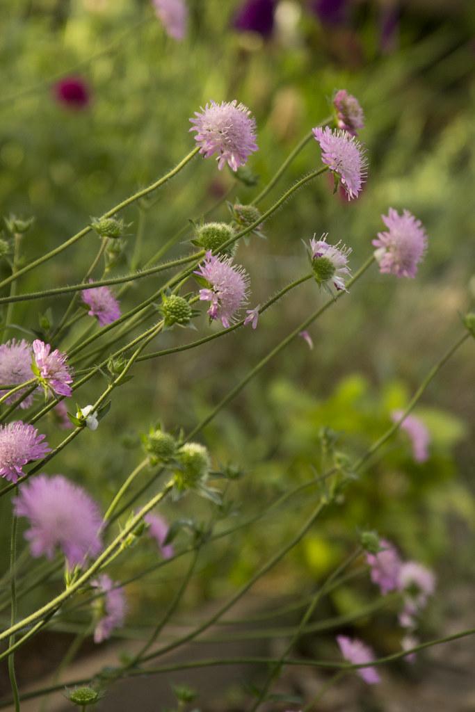 Knautia Melton Pastels Pink