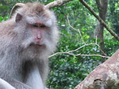 animal(1.0), monkey(1.0), mammal(1.0), fauna(1.0), japanese macaque(1.0), old world monkey(1.0), new world monkey(1.0), wildlife(1.0),