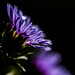 Violet Chrysanthemum by Jnarin