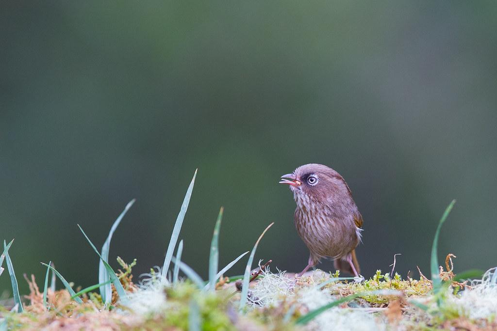 褐頭花翼-1385