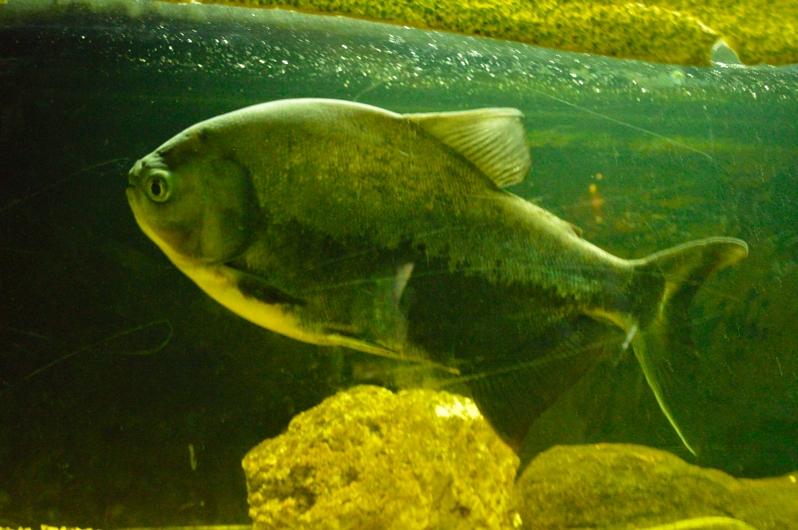 lara-vazquez-madlula-fish-piranha