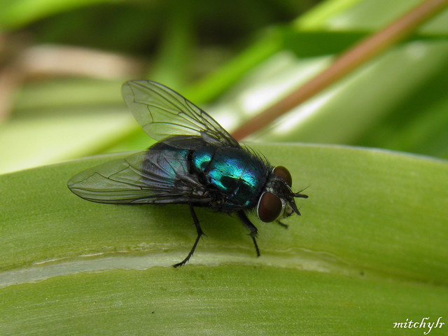 Irridescent Fly 1