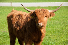 agriculture(0.0), texas longhorn(0.0), field(0.0), grazing(0.0), ox(0.0), cattle-like mammal(1.0), animal(1.0), prairie(1.0), bull(1.0), grass(1.0), mammal(1.0), horn(1.0), fauna(1.0), meadow(1.0), cattle(1.0), yak(1.0), pasture(1.0), grassland(1.0),