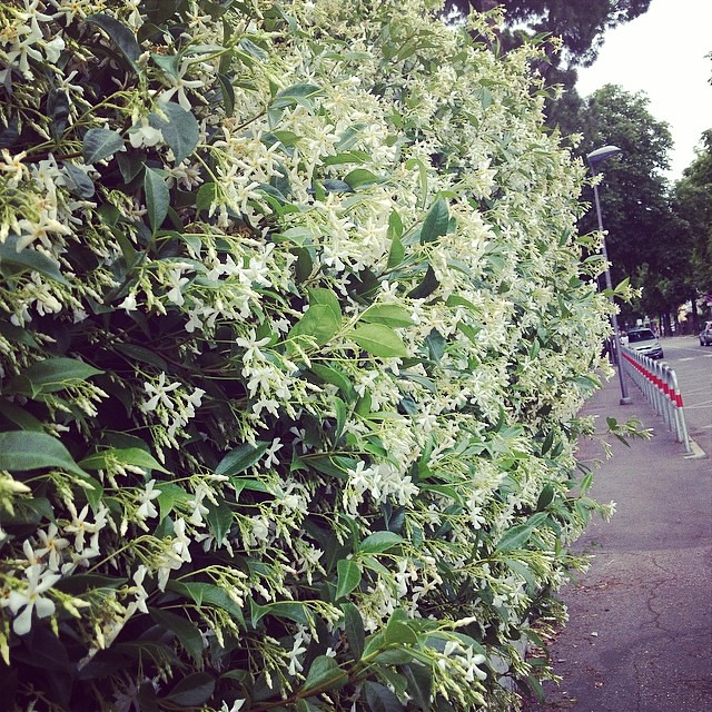 Gelsomino in fiore #giriingiro  #igr_romagna #forli