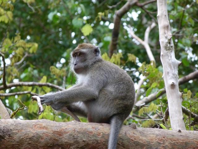 Mono de cola larga (Kinabatangan, Borneo)