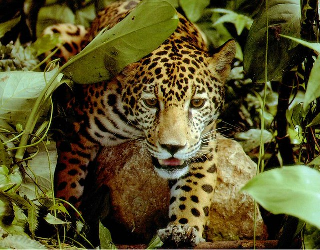 1Amazon-jaguar-diarioecologia.jpg