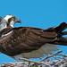 Osprey by Brian E Kushner