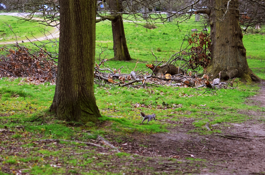 richmond park squirrel b