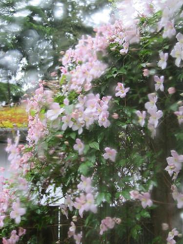 Rainy Clematis