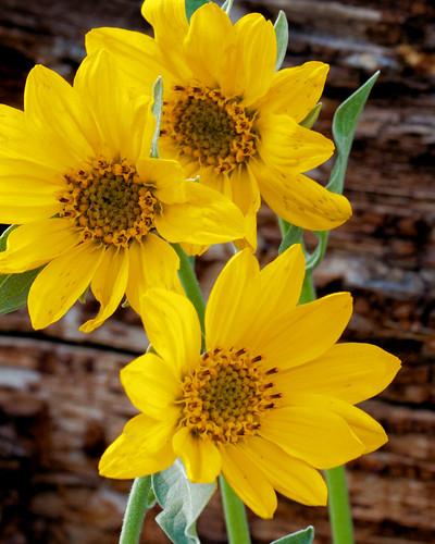 IMG_4151Grand Teton - flower 8x10