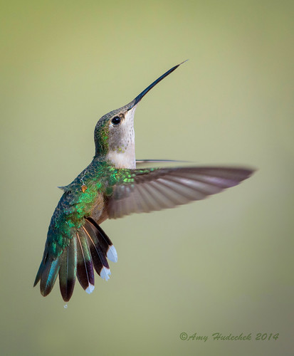 bird spring colorado hummingbird flight vegalake amyhudechek