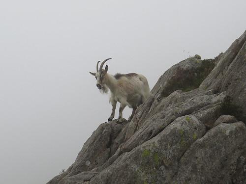 89b Wild goat on Tryfan