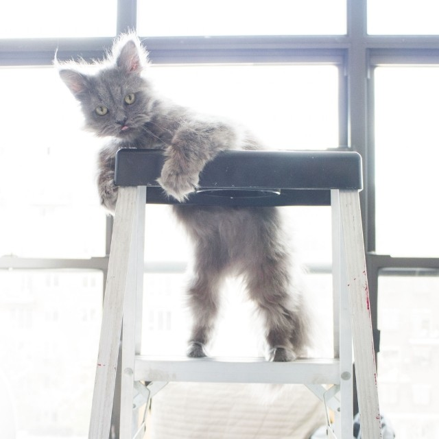Congrats Goblin, you finally climbed to the top of the ladder… but how are you going to get down?  #goblin #cats #cat #persiancat #Persian #fluffy #fluffball #kitten #furry #catsofinstagram #ilovemycat #grey
