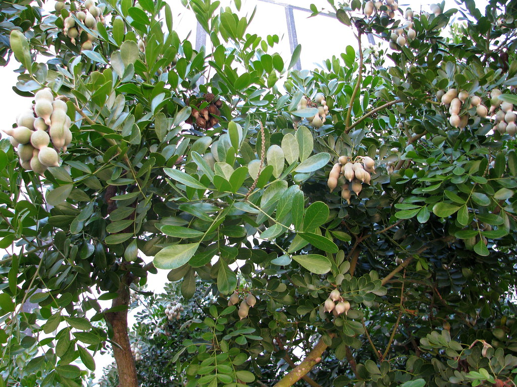 Tree That Produces Peanut Looking Seed Pods