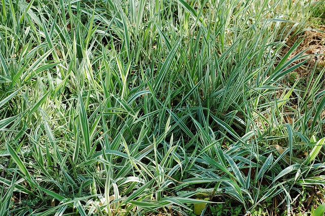 Japanese silvergrass by Eve Fox, the Garden of Eating blog, copyright 2014