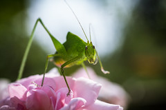 arthropod, animal, cricket-like insect, flower, nature, invertebrate, macro photography, mantis, flora, grasshopper, green, fauna, close-up, petal,