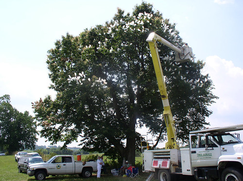 The American Chestnut Foundation workers and partners use a truck hoist to pollinate and protect pollination with protective bags on a surviving pure American chestnut in Adair County, Kentucky. Photo by TACF.