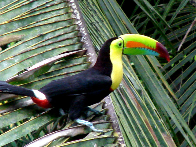another-keel-billed-toucan