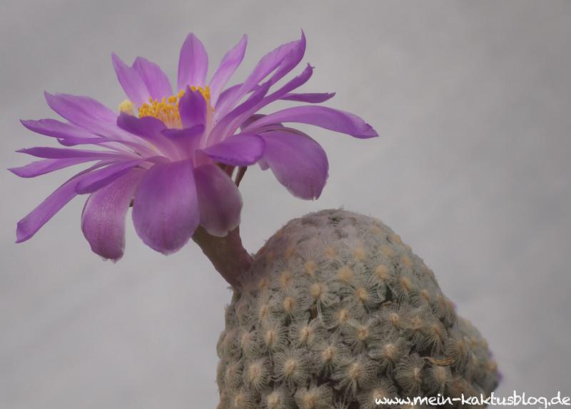 Mammillaria theresae Coneto Pass, DGO.