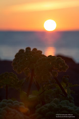 Angelica archangelica in the midnight sun