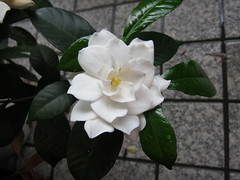 flower, flora, gardenia, camellia japonica,