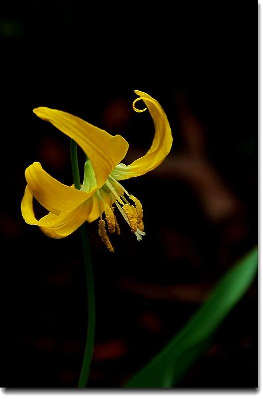 Glacier Lily 4