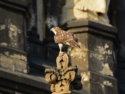 Cathedral Juvenile Hawk - 3718