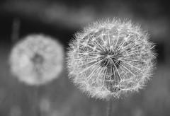 Two Dandelions