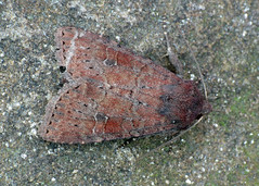 2268 The Suspected - Parastichtis suspecta