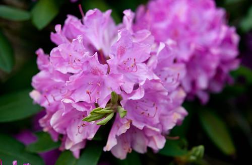 DSC_8911 rhododendron