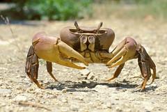 兇狠圓軸蟹 (Cardisoma carnifex) (攝於台南安南),是台灣體型最大的陸蟹。(攝影:施習德)