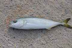 bass(0.0), perch(0.0), cod(0.0), barramundi(0.0), milkfish(0.0), animal(1.0), fish(1.0), japanese amberjack(1.0), fish(1.0), marine biology(1.0),