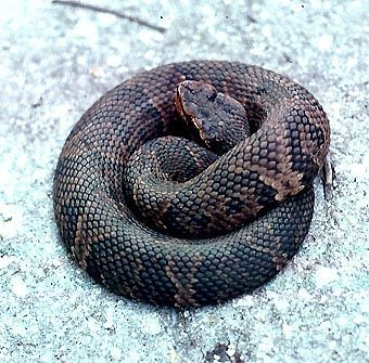 Cottonmouth on Pinecrest Loop