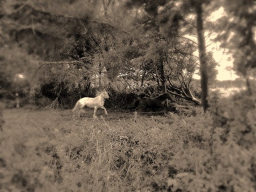 """wild horses of West Cork """"black and white"""""""