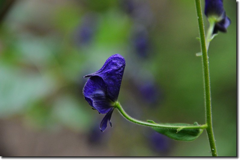 Monkshood flower 3