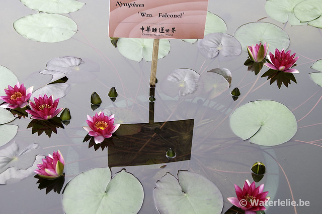 Waterlelie Wm. Falconer / Nymphaea Wm. Falconer